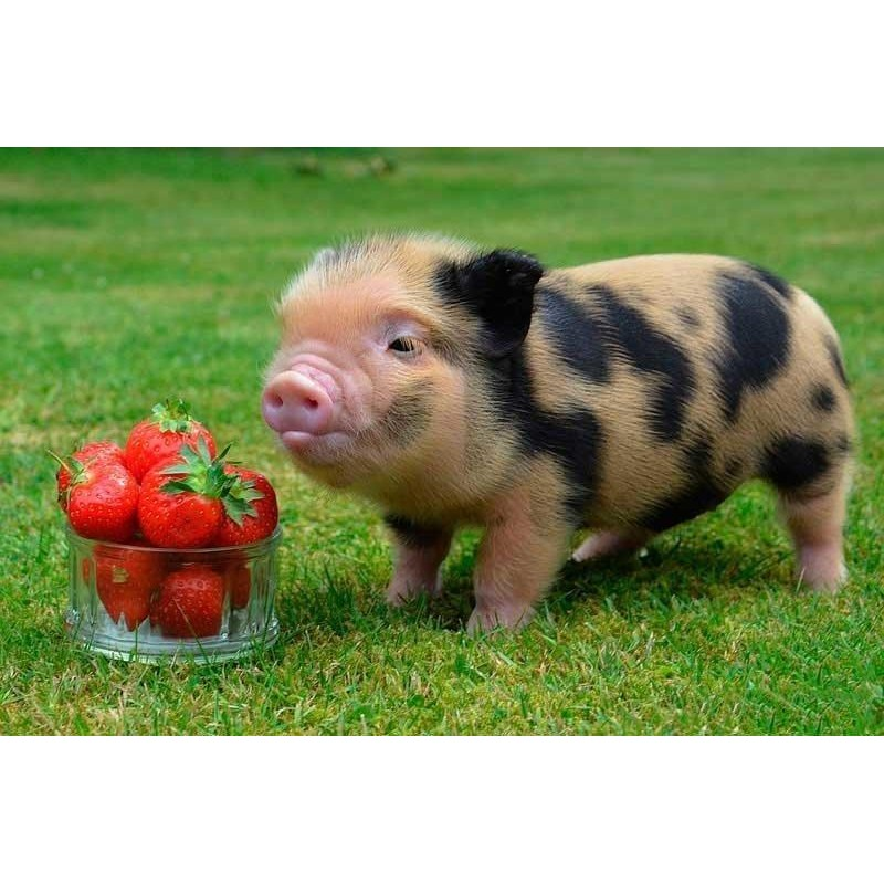 For Beginners Pig 5D...